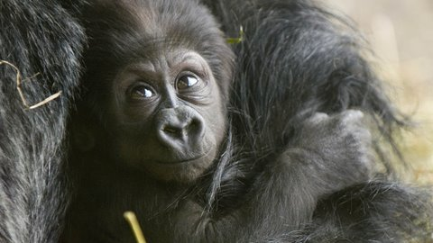 Cute Baby Gorilla's first steps Video