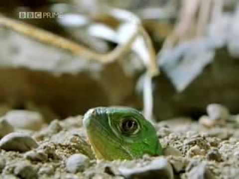 Green Iguana Documentry Part 1 Video