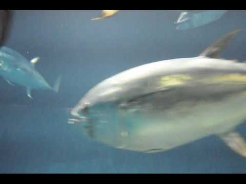 Swimming Tuna at TOKYO SEA LIFE PARK. マグロの泳ぎ-葛西臨海水族園