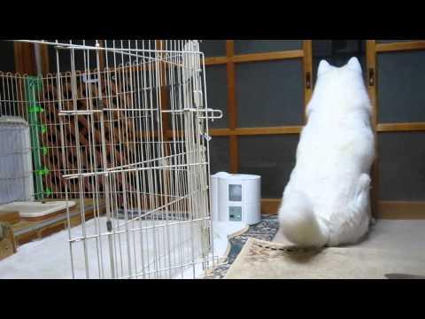 秋田犬自分でもビックリしたおならは尻尾で拡散