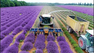 Lavender Harvest & Oil Distillation | Valensole - Provence - France 🇫🇷| large and small scale