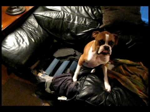 Boxer Dog The Couch Eater Youtube