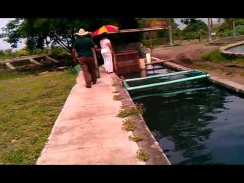 Criadero de mojarras youtube for Como criar mojarras