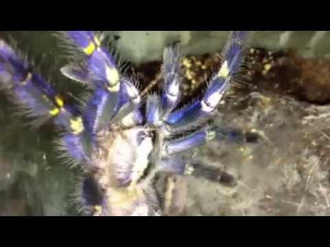 Ornamental Baboon Tarantula Ornamental Tarantula