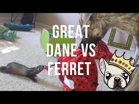 Ferret vs Great Dane Tug of War