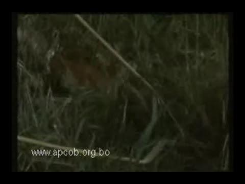 Caza de los Sirionos (Mbia)