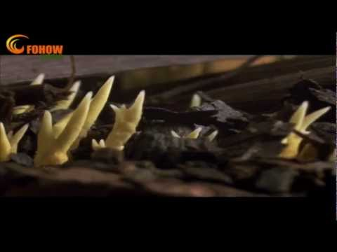Cordyceps Growth In Nature Documentary FOHOW-WORLD collection...