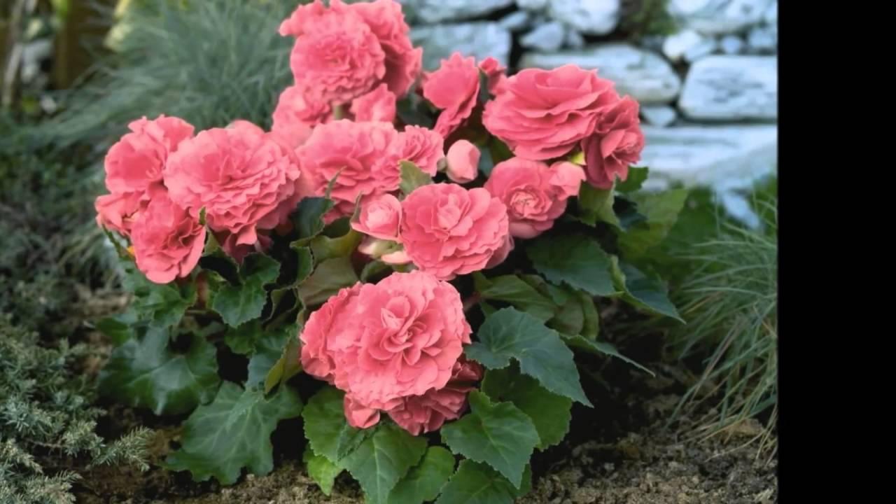 Бегония в саду выращивание 94