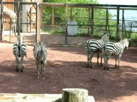 茶臼山動物園のシマウマ