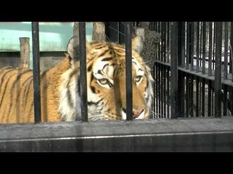 おびひろ動物園のアムールトラ タツオ