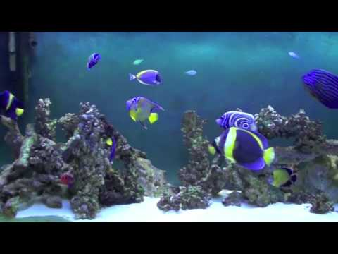 Marine Angelfish Tank HD (update)
