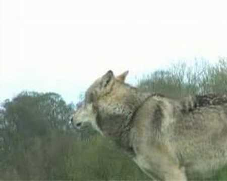 Wolf Howls video