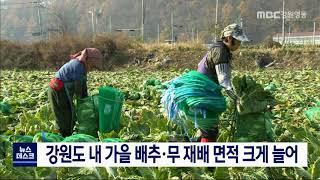 강원도 내 가을 배추·무 재배 면적 크게 늘어
