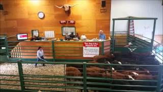 1300 calves from North West Cattle Company Sell in 35 Minutes at VJV Dawson Creek