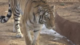 Denver Zoo's new tiger, Nikita, explores Zoo's new exhibit, The Edge