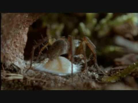 Life in the Undergrowth - Wolf Spider