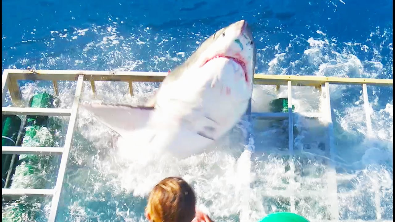 [Frightening Moment Great White Shark Got Inside Cage With A Person Inside] Video