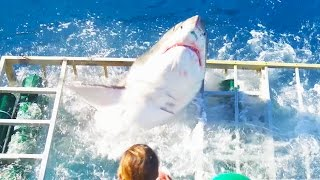 قرش ابيض يقتحم قفص الغطاس Great White Shark Cage Breach Accident