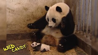 Sneezing Baby Panda | Original Video