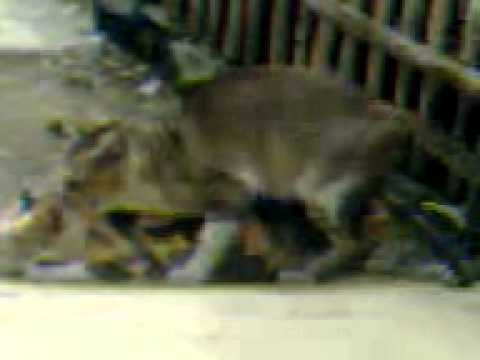 Sex Bebas Kucing Kampung video