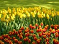 Tulipanes Holanda