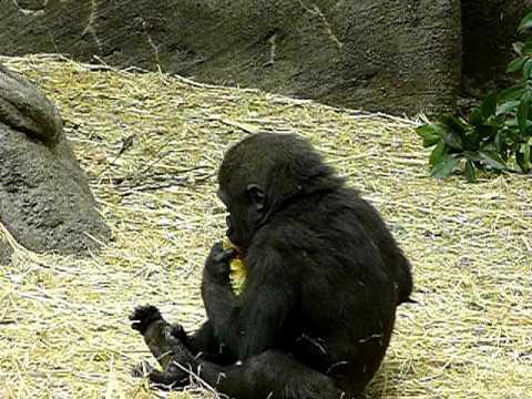 2011年4月22日の上野動物園のゴリラの赤ちゃんコモモ。Cute baby gorilla.#01