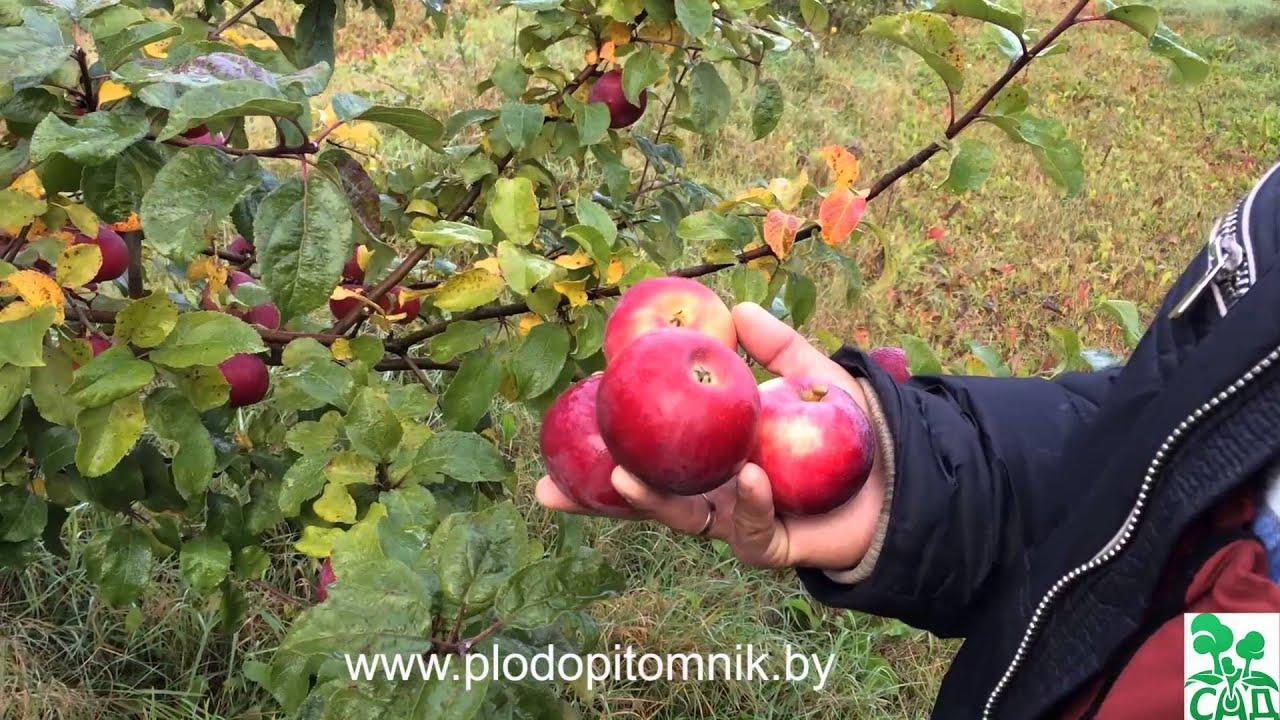 Сорт яблони подарок графского и описание сорта