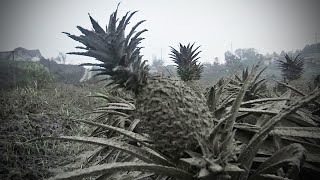 Why These Pineapples Are Turning Grey