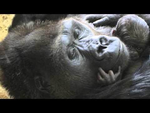 Lincoln Park Zoo - Baby Gorilla