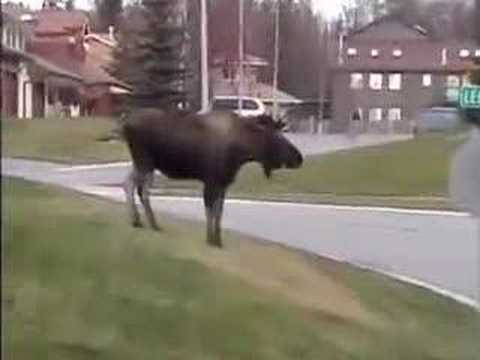 Moose and Dog Video