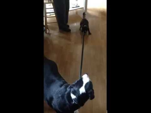 Puppy attempts to take dog for a walk