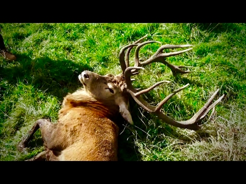 Hunting Red deer in New Zealand part 32