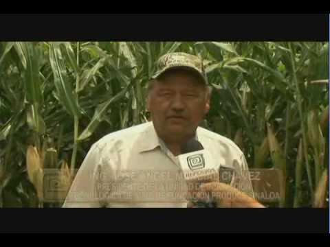 Validación de métodos de siembra para alta productividad de maíz en el norte de Sinaloa (4/4)