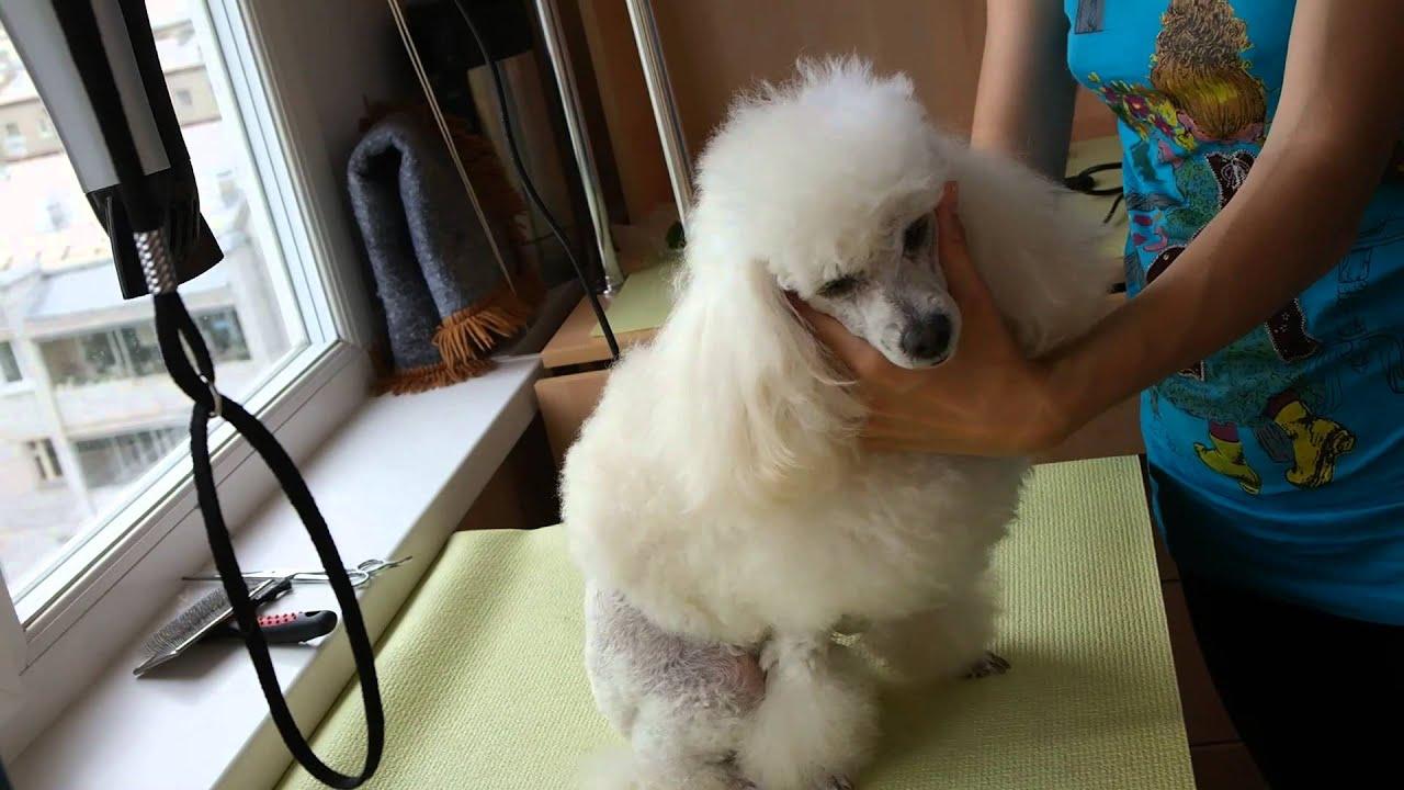 Как подстричь той пуделя в домашних условиях