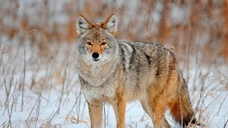 Coyote Hunting Calls Android Application