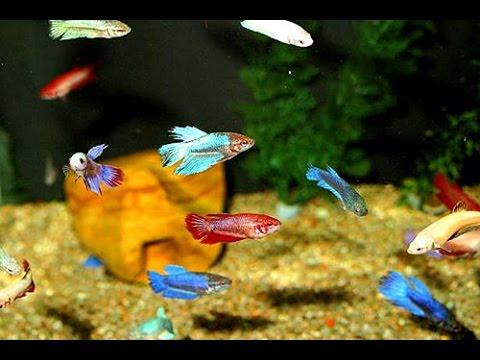 #Аквариум #для #начинающих #Бойцовые #рыбки #петушки  #Растут, #дерутся, #окрашиваются