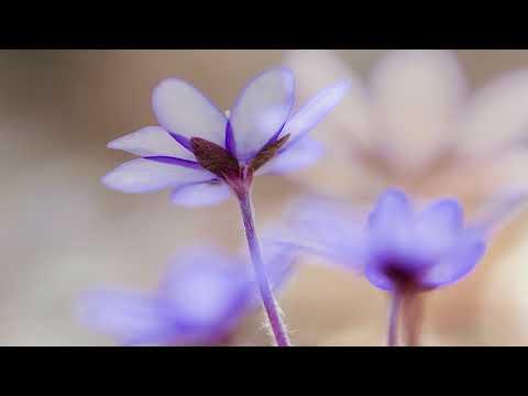 Leberblümchen: Zeitraffer und Stills