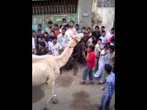 CAMEL QURBANI 2011 (2nd video)