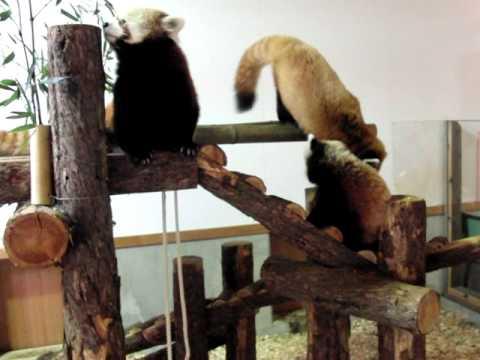 レッサーパンダご一家 茶臼山動物園