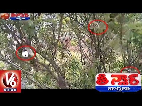Kowdipally Villagers Concern With Locks Displayed To Senna Auriculata Tree | Teenmaar News