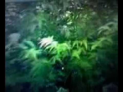 Marihuana Holandia