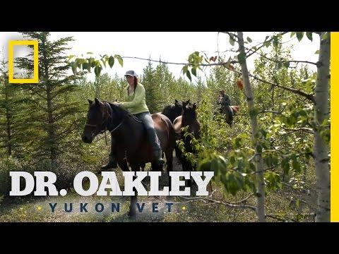 A Wild Horse Chase   Dr. Oakley, Yukon Vet