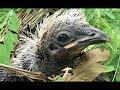 Phát Hiện Tổ Chim Bìm Bịp Trong Khu Nghĩa Địa Lạnh Lùng Catch Bird In Cambodia mp3