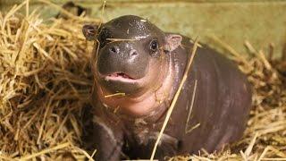Adorable baby pygmy hippo born