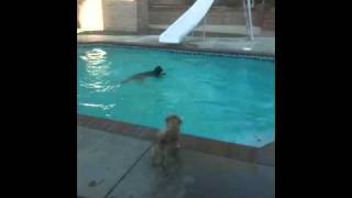 German Shepherd Cannonball