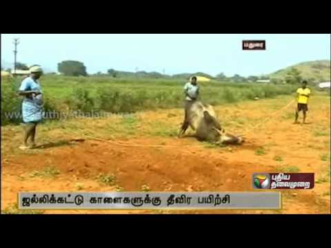 Bulls Are Getting Ready For Jallikattu video
