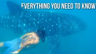 WHALE SHARKS IN THE PHILIPPINES: Everything You Need to Know.
