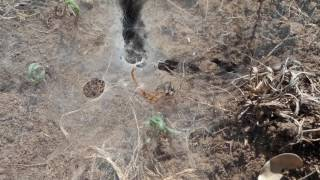 Funnel Web Spider binds and kills scorpion