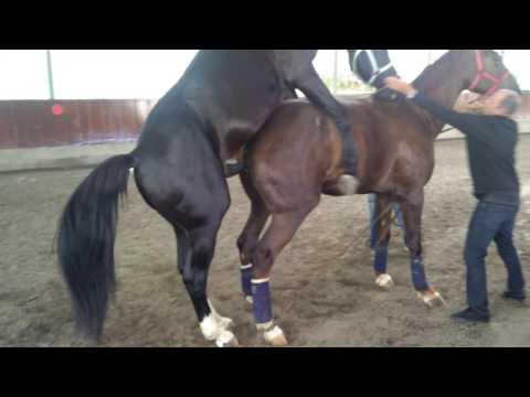 Caballo Entero Sirve a Yegua. (caballo capao no es yegua)