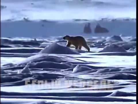Природа Севера. Белый медведь